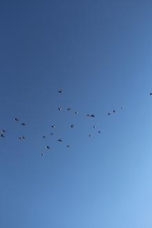 Flock of Birds Over Tamaqua, 11-25-2015 (50)