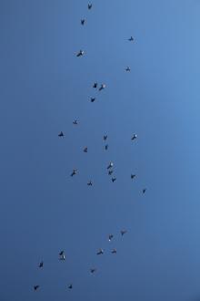 Flock of Birds Over Tamaqua, 11-25-2015 (52)