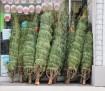 Donated Christmas Trees, Tamaqua Salvation Army, Tamaqua, 12-21-2015 (2)