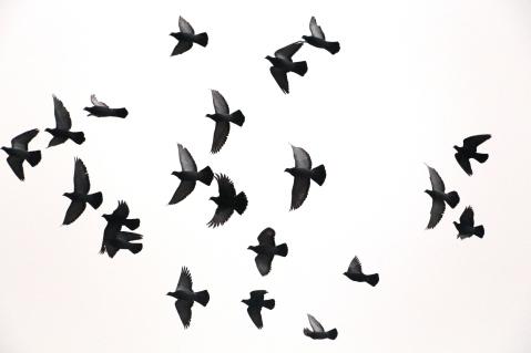 circling-pigeons-west-broad-street-tamaqua-2-8-2017-39