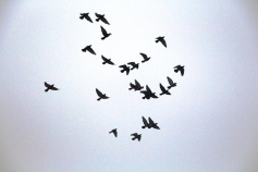 circling-pigeons-west-broad-street-tamaqua-2-8-2017-67
