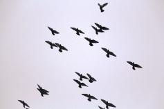 circling-pigeons-west-broad-street-tamaqua-2-8-2017-82