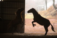 horses-at-horses-and-horizons-therapeutic-learning-center-west-penn-1-21-2017-65